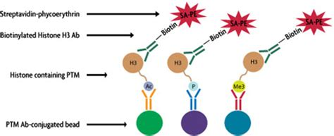 schematic of an antibody get free image about wiring diagram
