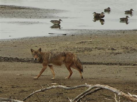 best 28 coyote vcdb dfw wildlife coyote normandy