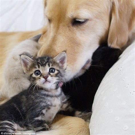 Helpless Dogs And Cats Are For Your Help by Ponzu The Golden Retriever Adopted This Helpless Kitten