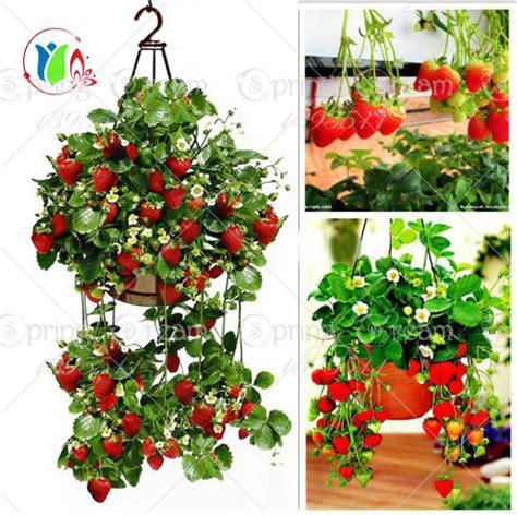 climbing strawberry plants heirloom strawberry plants reviews shopping