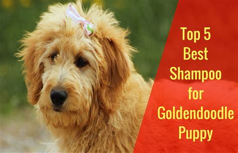 goldendoodle puppy care tips top 5 breeds 2018 dogs breed sierramichelsslettvet