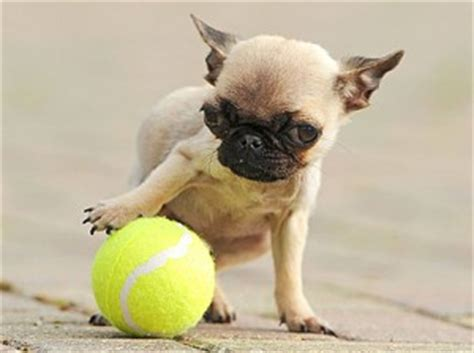 smallest grown in the world small breeds information and pictures of all small dogs