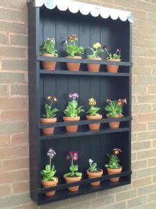 primula  auricula hillview hardy plants