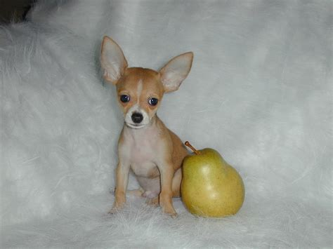 chihuahua pictures lovely chihuahua chihuahuas wallpaper 16093415 fanpop