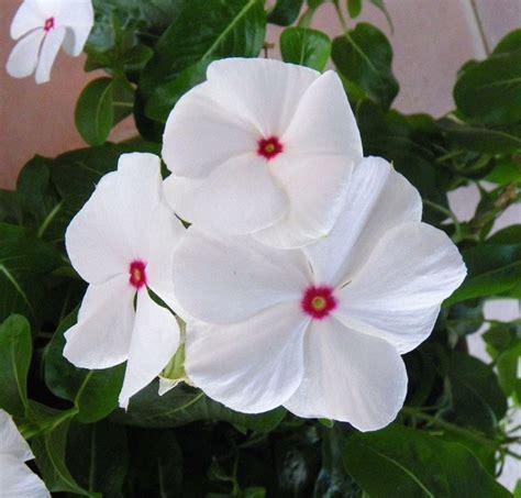 fiore impatiens carolina lisetta impatiens impatiens piante annuali