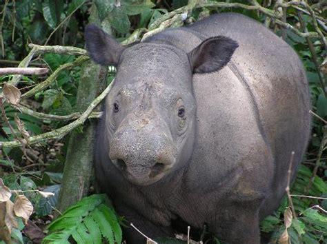 Kartu Telepon Indonesia Wwf World Wildlife Fund cameras capture sumatran rhino in borneo