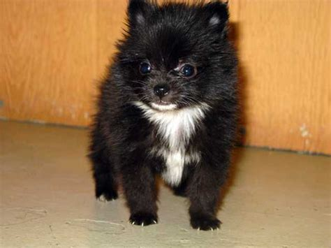 pomeranian puppies for sale in minnesota pomeranian husky puppies for sale in mn