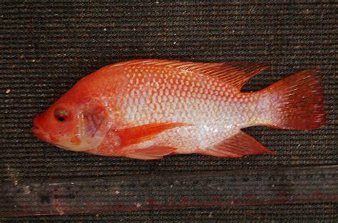 ikan nila nilasa betina bibitikan net