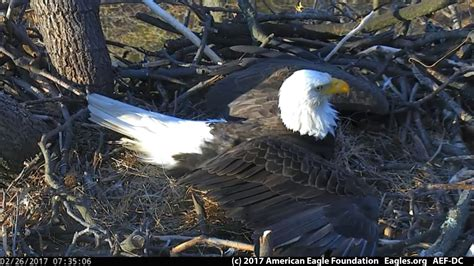 dc aef eagle cam 2 26 17 how to protect a nest youtube