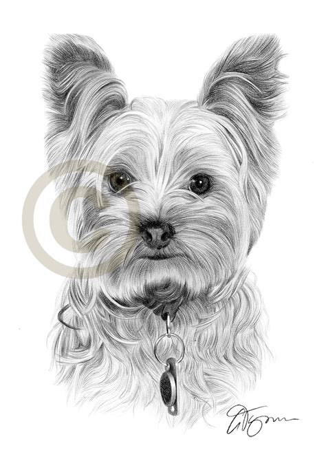 how to draw a yorkie puppy pencil drawing of a terrier by artist gary tymon