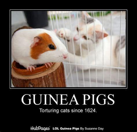 Funny Pig Memes - funny guinea pig photos cavy memes lol guinea pigs