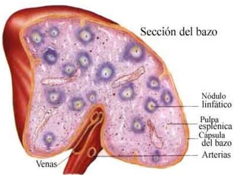 imagenes histologicas pdf histologia bazo