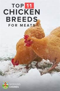 Backyard Chicken Supplies by 11 Best Meat Chicken Breeds To Raise In Your Backyard