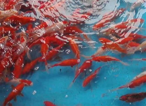 Benih Ikan Nila Per Liter raja lauk jual benih ikan jual artemia jual vaksin ikan