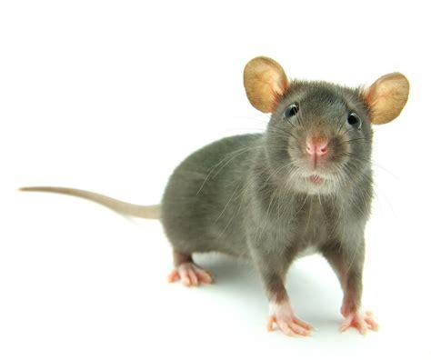 imagenes de ratones kawaii raton ratones