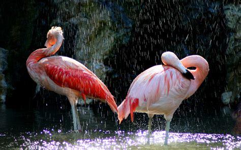flamingos birds wallpaper flamingo birds under the waterfall hd wallpaper hd