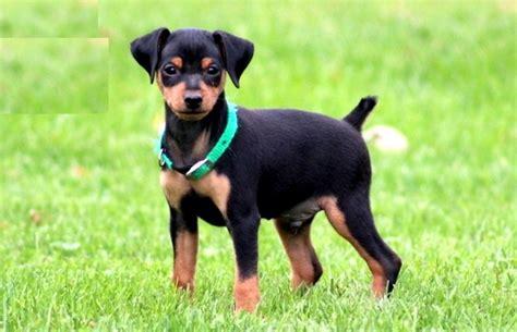 boxer appartamento pet para pets artigo 10 ra 231 as de cachorros de