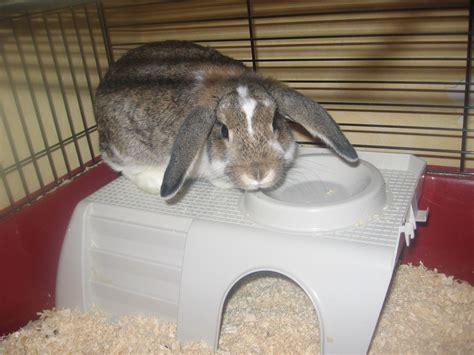rammler zum decken gesucht s 252 sser hase hasen kaninchen