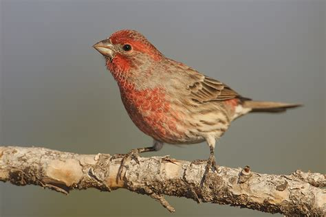 mexican house finch mexican house finch 28 images the back yard birds www messersmith name 2011 07