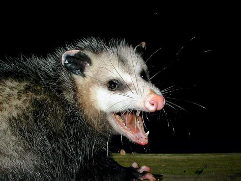 How To Get Rid Of Possums In Your Backyard by How To Get Rid Of Possum Possum Repellent