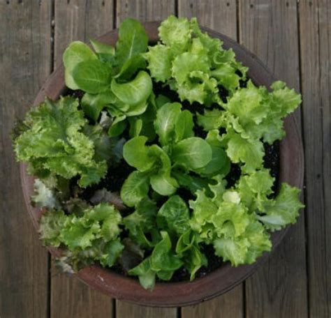 lettuce container garden salad bowls grow lettuce in containers