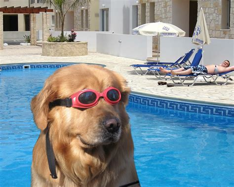 Dog With Glasses Meme - true american dog dog invents underwater sunglasses