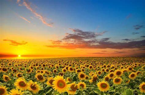 sunflower seeds benefits nutrition amp recipes