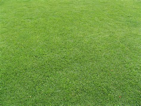 couch grass wiki couch grass wiki file cynodon dactylon 2 jpg wikimedia