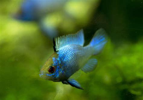 ram fish ram cichlids