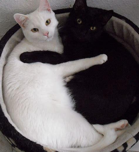 imagenes blanco y negro de gatos encantadoras im 225 genes de gatos blancos y negros juntos