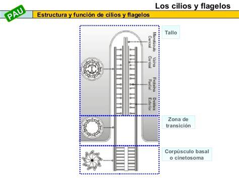 estructura sindical argentina estructura de la clula newhairstylesformen2014 com