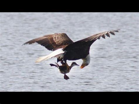 impactantes imágenes de una presentadora de tv rusa eeuu impactantes im 225 genes de un 225 guila cazando en lago
