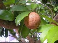 mencangkok tanaman buah ficus benyamina