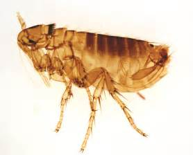 How To Get Rid Of Wasps In Backyard Pictures Of Fleas What Do Fleas Look Like