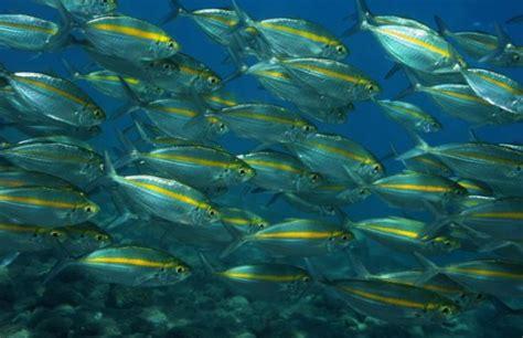 Ikan Selar morfologi dan klasifikasi ikan selar kuning selaroides