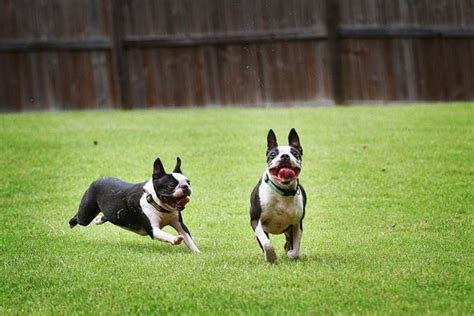 terrier in appartamento boston terrier carattere cani taglia media boston terrier