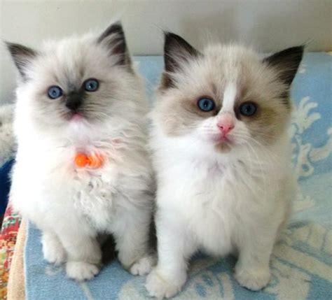ragdoll cats new zealand 880 best ragdoll cats images on beautiful cats