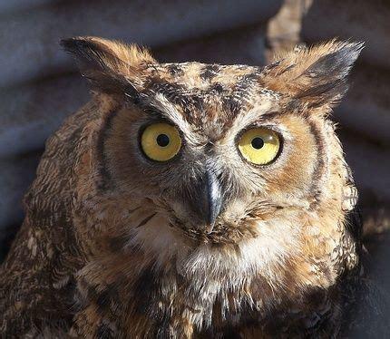 backyard owls owl chicken predators how to protect your chickens from owls backyard chickens