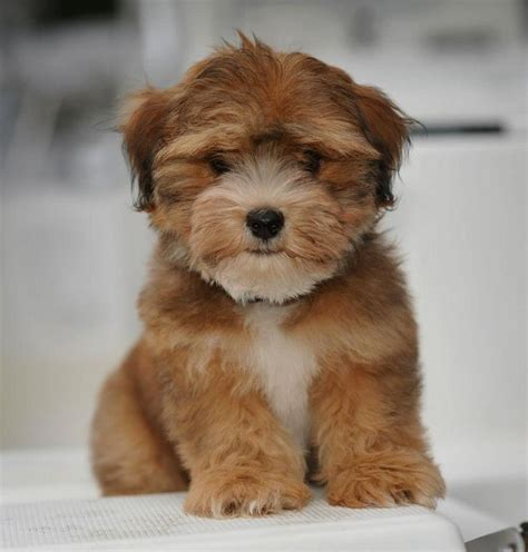 havanese poodle breeders bc 1097 best havanese photos images on friends havanese puppies and doggies