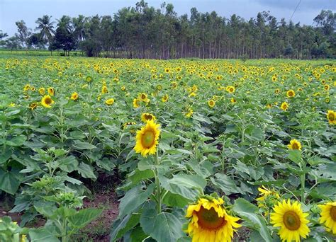 sunflower farm profitable plants