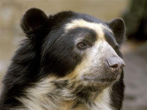spectacled bear spectacled bear animal wildlife