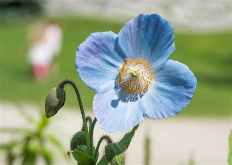 7 Plants With True Blue Flowers The English Garden Blue Flower