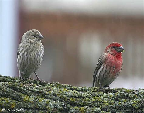 house finch pictures identification keys and tips house finch vs purple finch