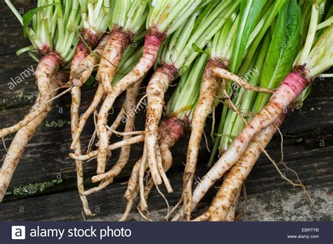 ediblr raw roots edible roots stock photos edible roots stock images alamy