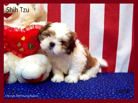 shih tzu puppies for sale in ct shorkie breeders in connecticut shorkie puppies for sale in ct were breeds picture
