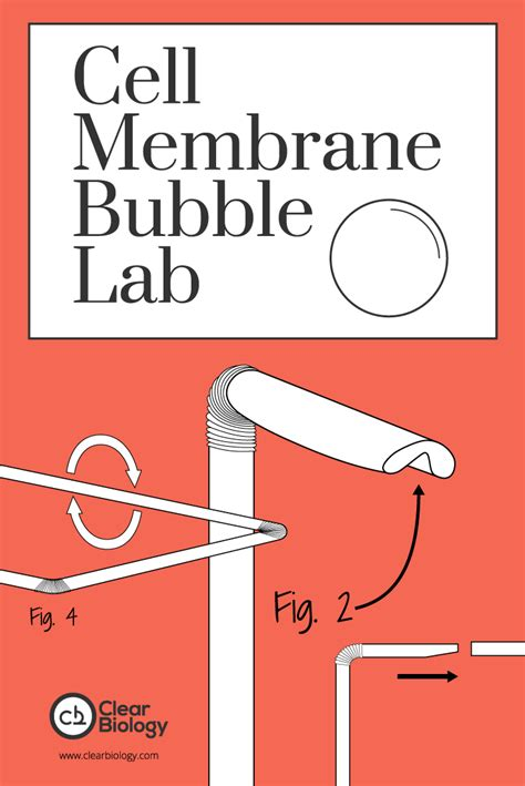 cell membrane bubble lab biology labs pinterest