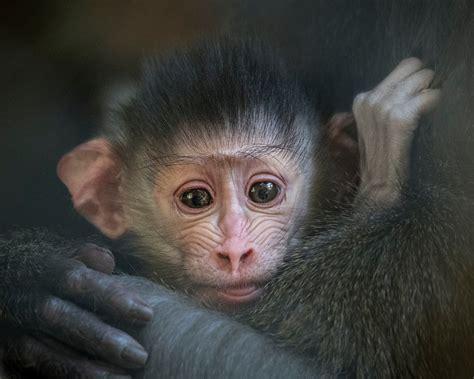 mandrill monkey babies  debut  la zoo ktla