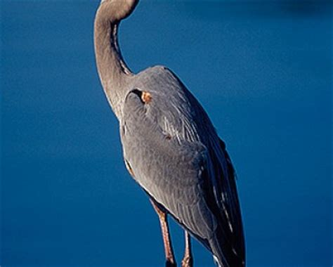 great blue heron archives animal facts for kids wild facts