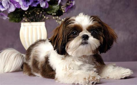 shih tzu images razas de perros shih tzu caracteristicas y cuidados