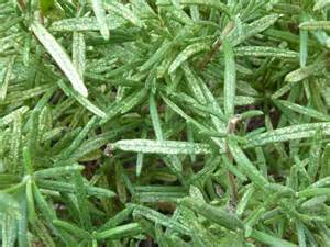 White Spots On Plants Disease - white spots on rosemary see prior e mail malka ask an expert